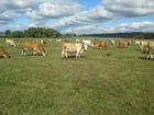Скачать фото  Продам коров симентальской породы на убой 40563095 в Баймаке
