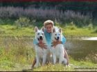 Фотки и картинки Немецкая овчарка смотреть в Москве