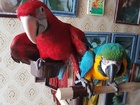 Свежее фотографию Птички и клетки Попугаи - ручные птенцы из питомников Eвропы 46230696 в Москве
