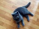 Новое изображение  Британская кошка ищет для серьезный отношений кота, желательно британского, 53288819 в Саратове