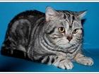 Просмотреть изображение Вязка кошек Мраморный кот-Чемпион-вязка 64241998 в Москве