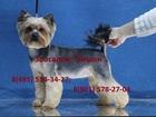 Скачать бесплатно фото Стрижка собак Стрижка йорков в Жулебино, Зоосалон Бишон, 66464436 в Москве