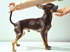 Уникальное фото Вязка собак Той-терьер мини (развязанный) 67796067 в Москве