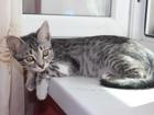 Просмотреть фотографию  Серый котенок в добрые руки 67914620 в Ставрополе