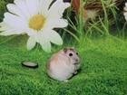 Смотреть фото Грызуны Розовые джунгарики-хомячки 68186833 в Москве