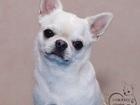Уникальное фотографию Вязка собак Кремовый кобель для вязки 68203172 в Москве