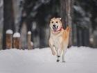 Свежее foto  Изящная, красивая собака Айрис в добрые руки! 68270433 в Москве