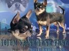 Свежее фотографию Вязка собак Кобель чихуахуа голубой триколор для вязки 68718314 в Москве