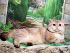 Скачать бесплатно фото Вязка кошек Золотой голубоглазый тебби поинт британец на вязку приглашает 68755887 в Москве