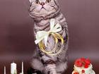 Свежее фотографию Вязка кошек Вязка-Британский чёрный серебристый мраморный кот-Чемпион 68755920 в Москве