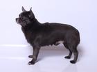 Просмотреть foto Вязка собак Чихуахуа вязка голубой и лиловый, 68756020 в Москве