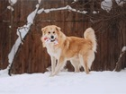 Просмотреть фото  Шикарный пёс Нортон в добрые руки, 68956369 в Москве