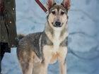 Свежее изображение  Чудесный щенок Сноу ищет семью, 68961797 в Москве