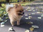 Увидеть фотографию Вязка собак ищем девочку для этого красавчика!) 69194062 в Москве
