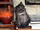 Новое фотографию  Синеглазый Грей, мальчик, 1,5 месяца в дар 70545128 в Москве
