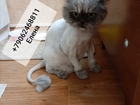 Скачать бесплатно фото Услуги для животных Стрижка кошек Спб Приморский Район 70723935 в Санкт-Петербурге