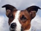 Смотреть foto Вязка собак Ищем девочку, Джек Рассел Терьер 74712831 в Москве