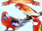 Смотреть фотографию  Попугаи розелла - птенцы выкормыши 81389976 в Москве