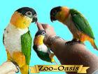 Уникальное foto Птички и клетки Черношапочный попугай или каик 81390026 в Москве