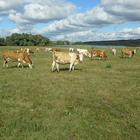 Продам коров симентальской породы на убой