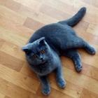 Британская кошка ищет для серьезный отношений кота