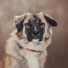 Красивый пёс Чибис в добрые руки