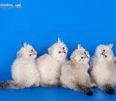 Изображение в Кошки и котята Продажа кошек и котят Очень красивые, пушистые, голубоглазые, ласковые, в Москве 25000