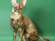 Корниш-рекс взрослая кошка-компаньон корниш-рекс взрослая кошка редкого шоколадн
