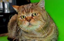 Скоттиш страйт приглашает вислоухих кошечек на вязку
