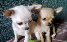 Чихуахуа щеночки