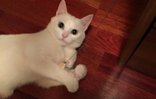 Кошечка Белочка в добрые руки, в дар
