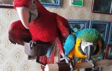 Попугаи - ручные птенцы из питомников Eвропы