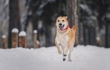Изящная, красивая собака Айрис в добрые руки