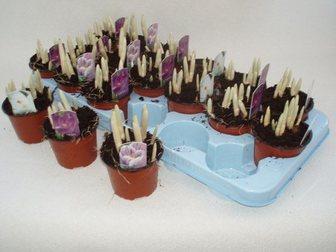 Уникальное изображение Растения Крокус Микс 32408193 в Москве