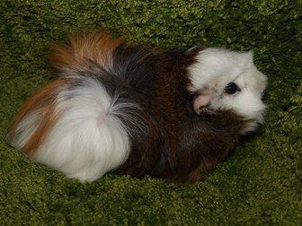 Новое изображение  Морские свинки из домашнего питомника 32451162 в Москве