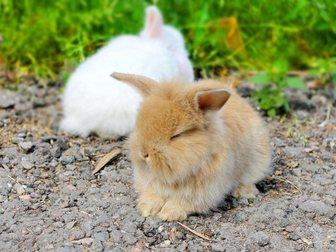 Смотреть foto Грызуны продаются крольчата карликовый вислоухий баран 33075338 в Москве
