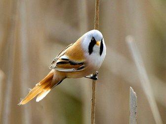 Скачать бесплатно фото Птички Усатые синицы 33764108 в Москве