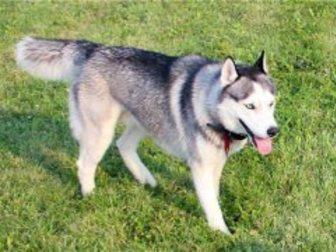Свежее изображение Продажа собак, щенков Кобель сибирского хаски для вязки 34344966 в Москве