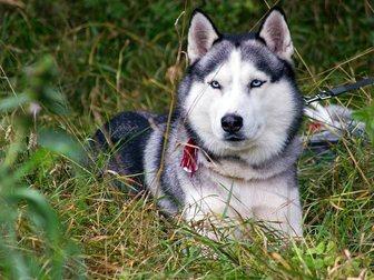 Просмотреть foto Продажа собак, щенков Кобель сибирского хаски для вязки 34344966 в Москве