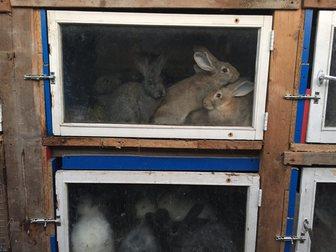 Уникальное изображение Другие животные Парное мясо кролика и живые крольчата пород Калифорниец, Ризен, Серый великан, Венский черный, 34565406 в Москве