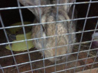 Скачать изображение Другие животные Парное мясо кролика и живые крольчата пород Калифорниец, Ризен, Серый великан, Венский черный, 34565406 в Москве
