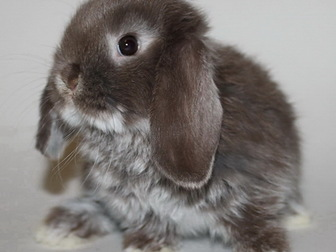 Скачать изображение Грызуны Крольчата мини, вислоухие и цветные 35407959 в Москве
