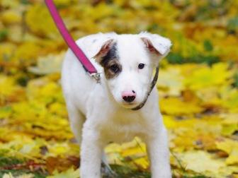 Уникальное фотографию  Красивый щенок Бим в добрые руки, 44161109 в Москве