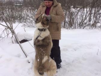 Увидеть фото  Шикарная Алабайка Герда ищет дом, 56572475 в Москве