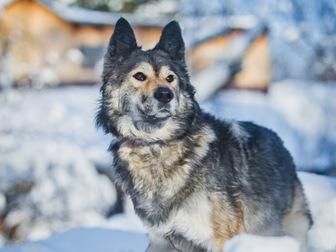 Уникальное foto  Красивая собака Луна в добрые руки, 57234097 в Москве