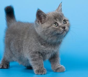 Изображение в Кошки и котята Продажа кошек и котят Монопородный питомник британских кошек предлагает в Москве 15000