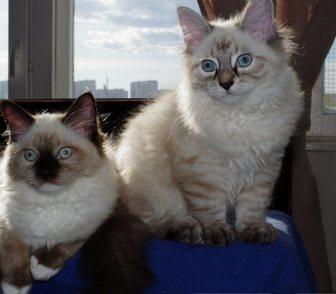 Фотография в Кошки и котята Продажа кошек и котят Предлагаются невские маскарадные котята из в Москве 25000
