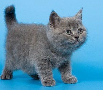 Фото в Кошки и котята Продажа кошек и котят 8 (910)-483-40-91 Монопородный питомник британских в Москве 15000