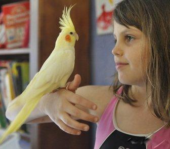 Фото в Домашние животные Птички Приму в дар самку какаду желтохохлую, розелла в Москве 0