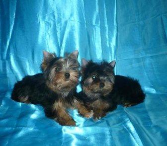 Фото в Собаки и щенки Продажа собак, щенков Предлагаем Профессионально выращенных щенков в Москве 25000